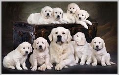 cost of a purebred golden retriever golden retriever purebred or mixed breed golden retriever and puppies information
