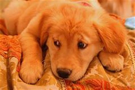 when do golden retrievers stop chewing stop puppy chewing stop dogs from chewing