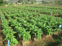 Benih Bibit Buncis Perkasa 500gr Panah Merah menanam buncis di polybag bibit
