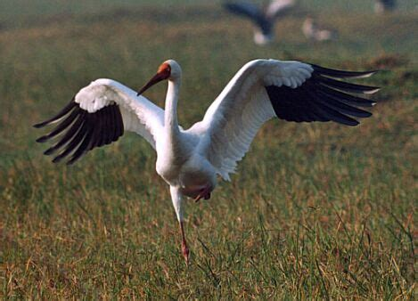 siberian crane big cats disappearing in russia along with other species