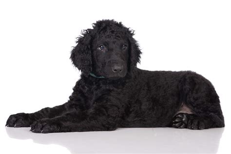 curly haired dog haircuts curly coated retriever hunde rassen information omlet