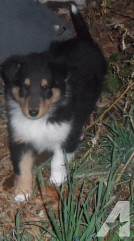 collie puppies for sale wisconsin akc collie puppies ready to go now for sale in point wisconsin classified