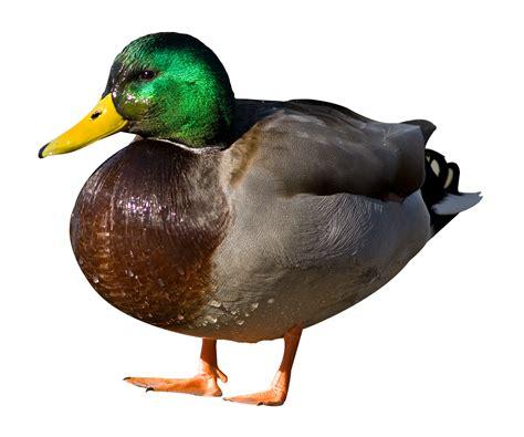 Duck Image