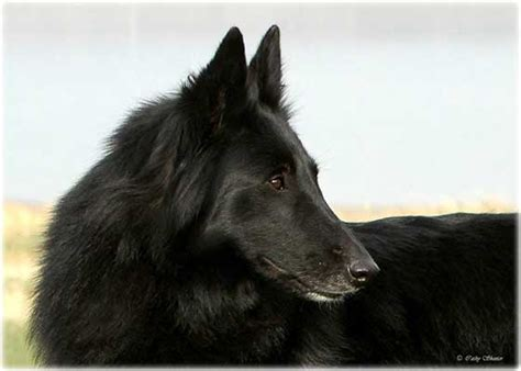 ukc shows competes at ukc shows isengard belgian sheepdogs