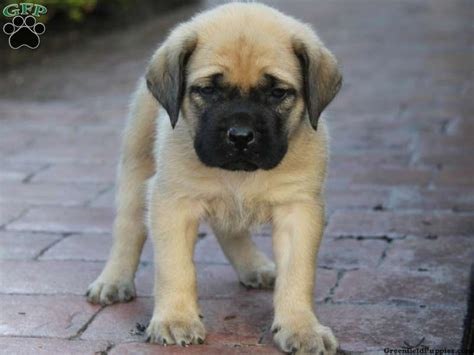 mastiff puppies mastiff puppies on spot mastiffs mastiff breeders mastiff breeds picture