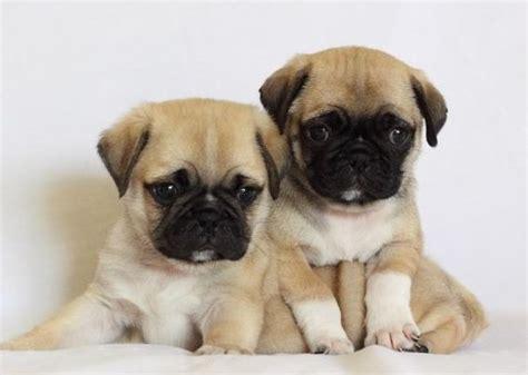 pug x breeds pug and pekingese puginese pug mixed breeds pug