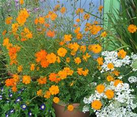 Garden Zones Us - cosmos sulphureus orange quot klondike cosmos quot buy online at annie s annuals