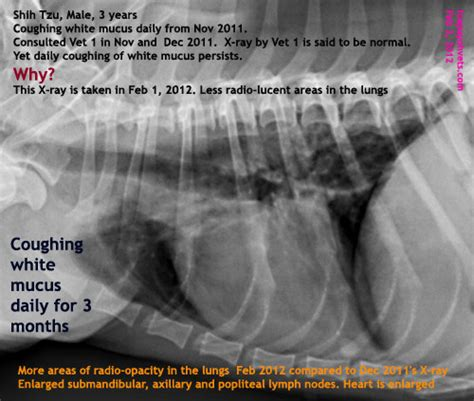 shih tzu coughing and 20100619dental scaling health care problems in singapore dogs fistula oronasal dog