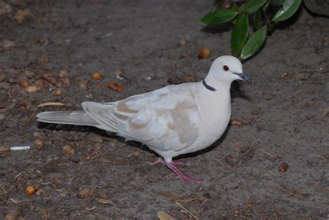 zoology species of this white dove biology stack exchange