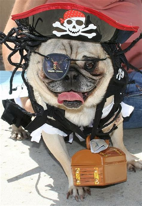 pug pirate costume captain pug sparrow the pirate pug sammy s costume pugs and bulldogs