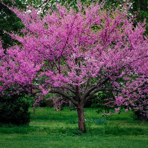 japanese redbud tree photos eastern redbud for sale the tree center