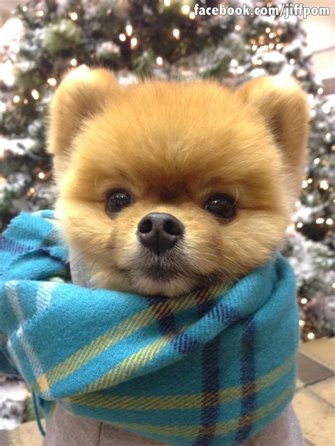 jiff pomeranian 17 ways jiff the pomeranian celebrated the holidays