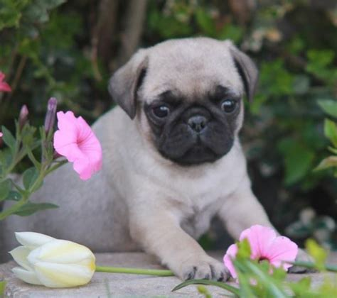 adorable pug pictures pug puppy pug names and pictures pug puppies pugs and