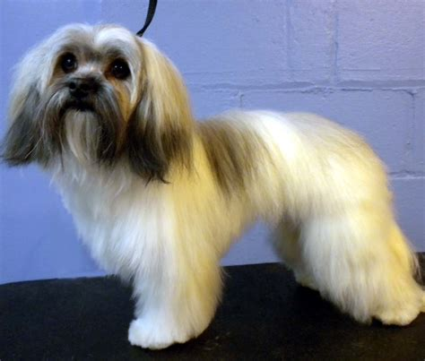 havanese cuts 404 not found