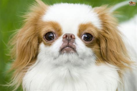 japanese puppy learning more about the japanese chin pets4homes