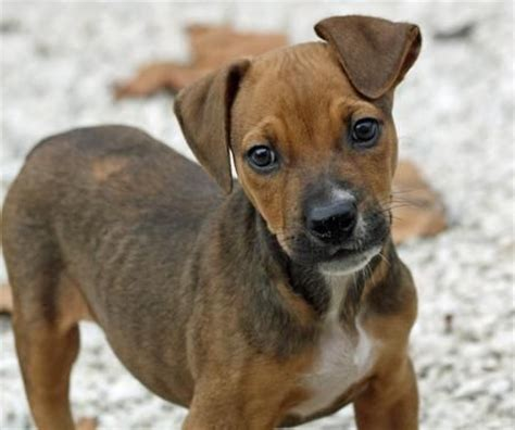 boxer chihuahua mix puppies boxer mix puppy so stuff chihuahuas the boxer and the o jays