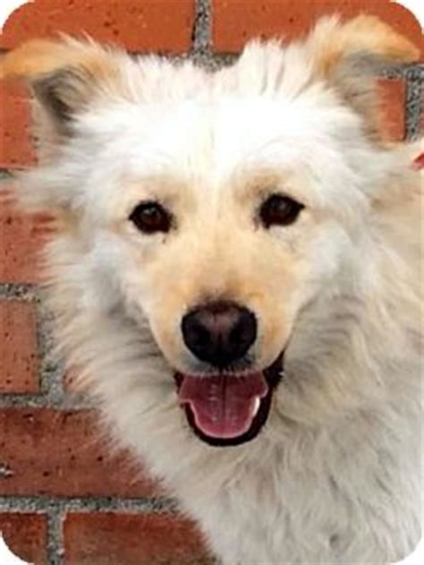 golden retriever american eskimo mix los angeles ca golden retriever american eskimo mix