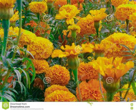 yellow merry gold stock image image  plant botany