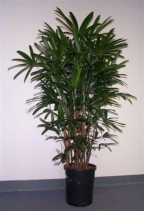 rhapis excelsa botanical  rhapis excelsa common