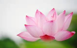 Lotus Flower Wallpaper Lotus Hd Wallpaper 2015