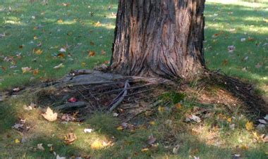 maple tree roots surface surface roots kramer tree specialists inc