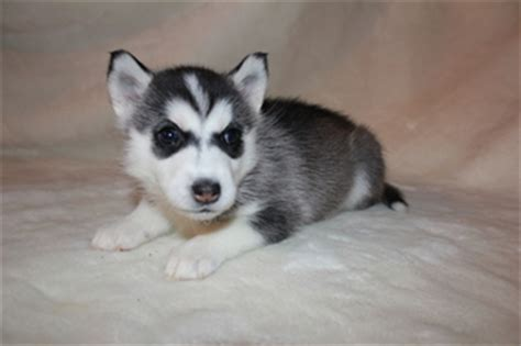 mini husky pomeranian mix for sale view ad alaskan husky pomeranian mix puppy for sale maryland severn usa
