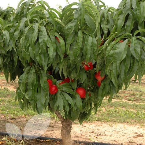 fruit trees for sale fruit trees for sale