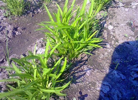 Jual Bibit Kangkung Air budidaya dan cara menanam kangkung darat dengan mudah