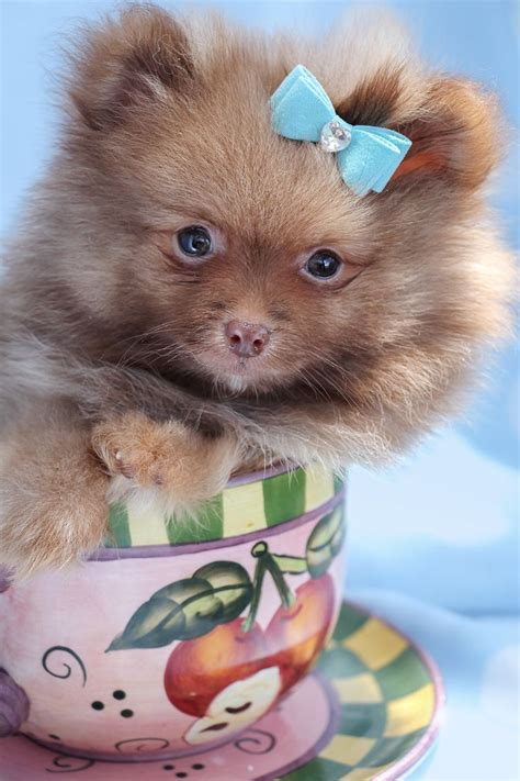 pomeranian puppies for sale miami 67 best images about teacup pomeranians pomeranian puppies on