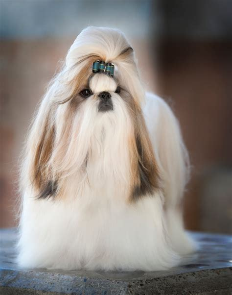 shih tzu with hair amitzu shih tzu