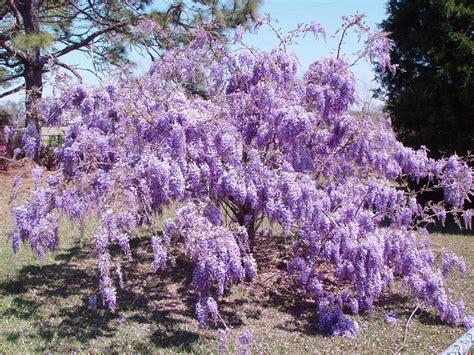 wisteria flower amazing wisteria flowers