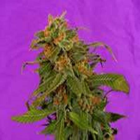 reclining buddha strain reclining buddha regular cannabis seeds by soma seeds