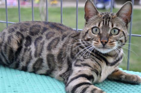 cat silver beautiful bengal cat newhairstylesformen2014