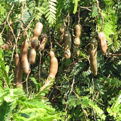 australian seed tamarindus indica