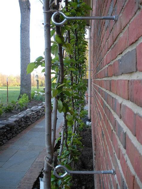wire supports for climbing plants 17 best images about vines that bloom on vines