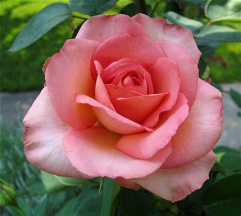 dusty pink rose: lex equine: galleries: digital