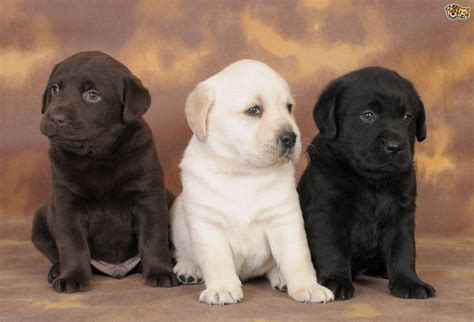 pics of lab puppies predicting the colour of labrador retriever puppies pets4homes