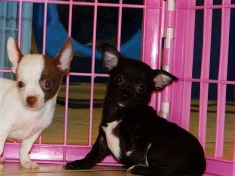 chihuahua puppies for sale in arkansas chihuahua puppies for sale in rock arkansas ar russellville