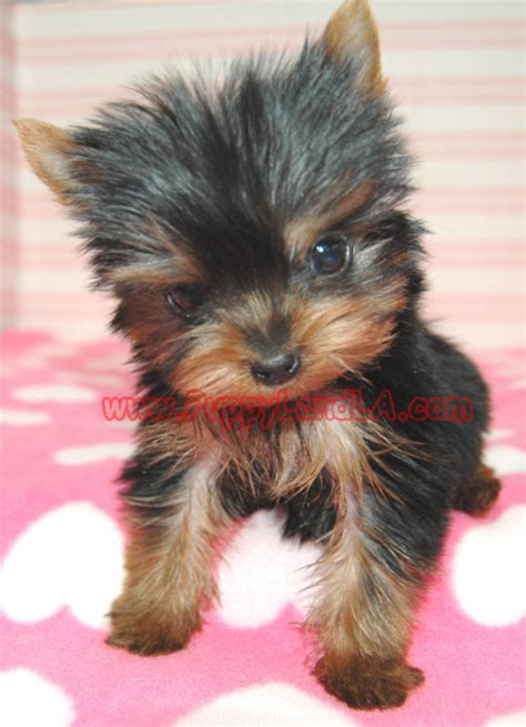 yorkies in louisiana puppylandla yorkies maltese breeders teacup yorkie teacup maltese pet shop