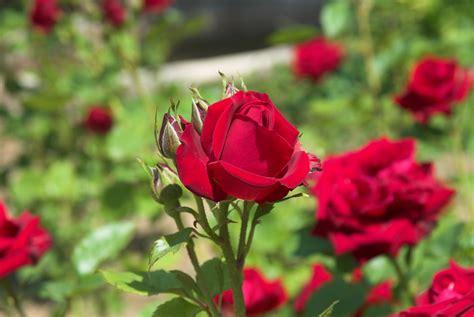 flores rojas index of html objetivos sigma sigma 17 70 2 8 4 5 galeria