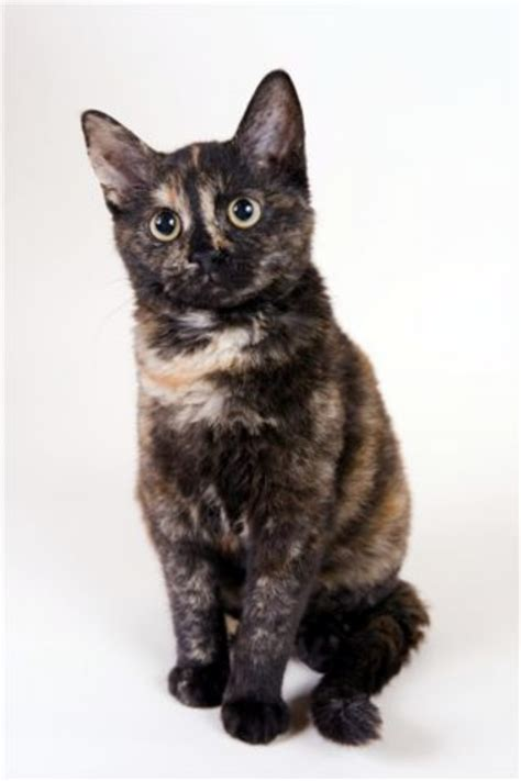 cat breed cat breeds images search