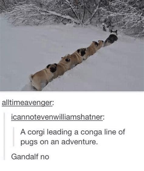 corgi leading pugs 25 best memes about corgi corgi memes