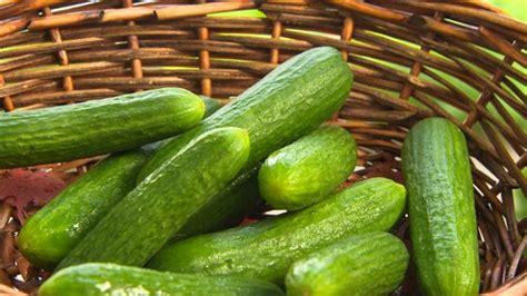 cuisiner concombre choisir les meilleurs concombres et les cuisiner cet 233 t 233