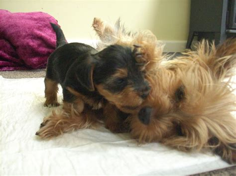 miniture yorkie puppies miniature yorkie puppies only 1 boy left accrington lancashire pets4homes
