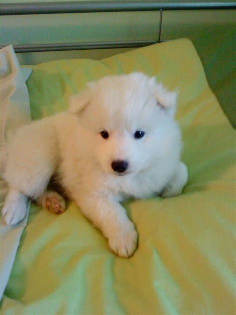 japanese spitz puppies japanese spitz puppy loughborough leicestershire pets4homes