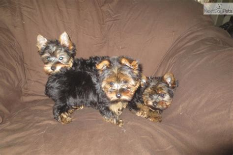 2 pound teacup yorkie san diego dogs for sale puppies cats kittens pets for sale backpage