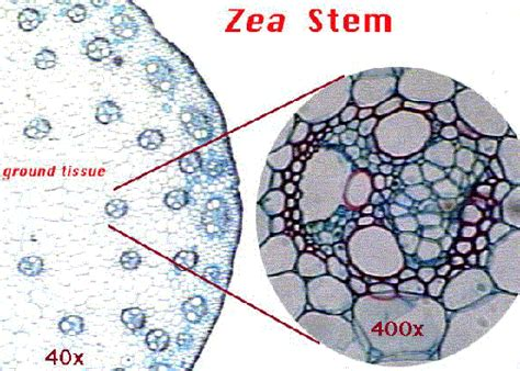 zea mays stem cross section plant structure ii