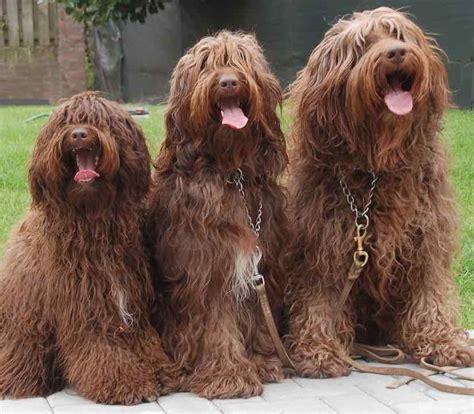 mini labradoodles size labradoodle designer breed labs x poodles hybrid