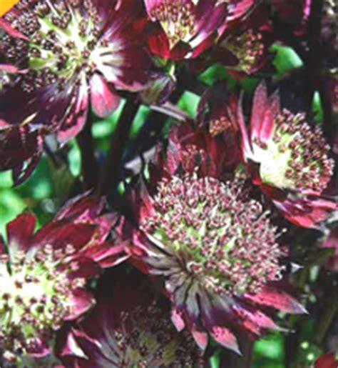 Brigita Pink Syari oves plantor perenner