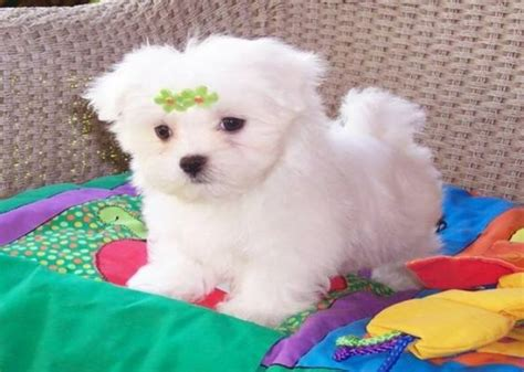 puppies for adoption in oklahoma adoption shelters and for sale on